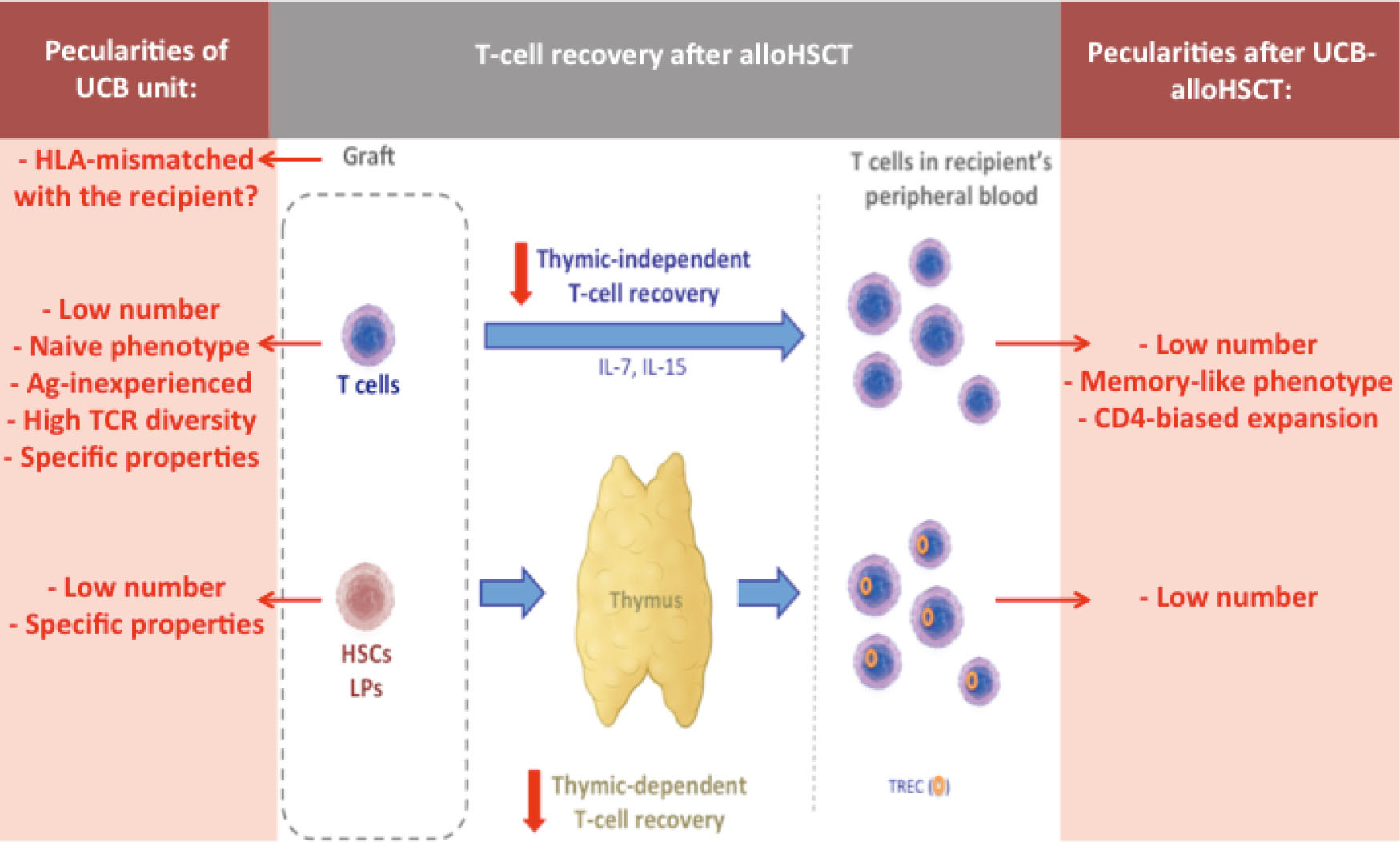 Figure 1 Recovery of the T-cell pool in peripheral blood after (UCB-)  transplantation. Peculiarities in the setting of UCBT are highlighted in  red.